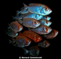 SHOAL OF BIGEYES by Bernard Groenewald 